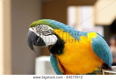 A beautiful macaw seeing the lens