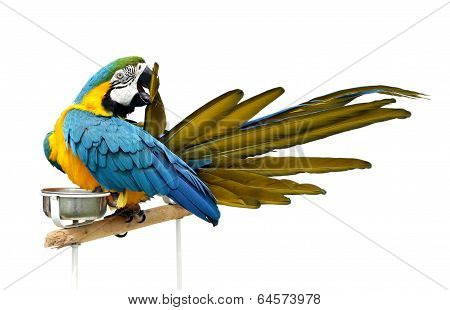 A beautiful macaw etching its feather isolated on white