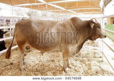 A strong bull