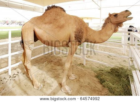 A beautiful tall camel