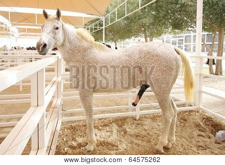 A beautiful mottled Arabian horse