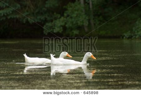 White Duck Pair
