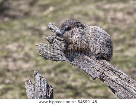 baby woodchuck