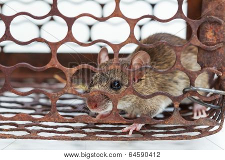 A Rat In A Rusty Metal Trap