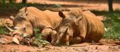 two resting rhinos fast asleep in the african sun lovers lying together family couple poster