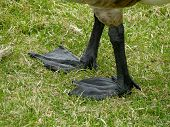 Large, black, webbed feet make geese incredible swimmers. poster