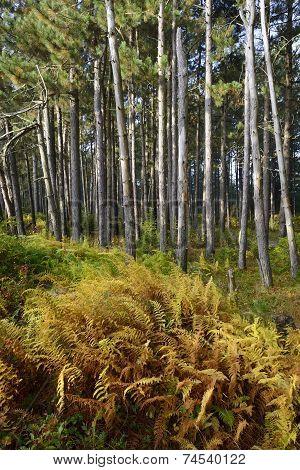 Ferns Turning Golden in Autumn