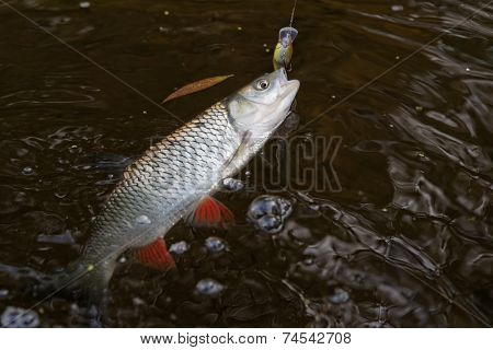 Chub caught on a plastic bait in clear water