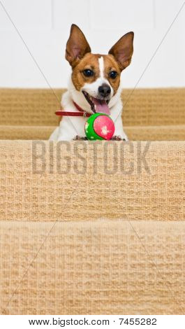 Jack Russell Terrier At Top Of Stairs With A Ball