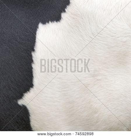 Part Of Hide Of Black And White Cow