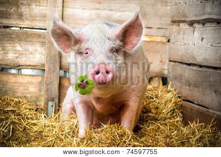 Pig on hay and straw green shamrock in snout