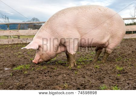 Side view of a big pig on a farm