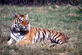 Panthera Tigris ,the bengal tiger is mostly found in some of the tiger reserved forests of india poster