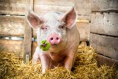 Pig on hay and straw green shamrock in snout poster
