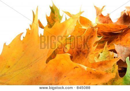 leafs  like fire