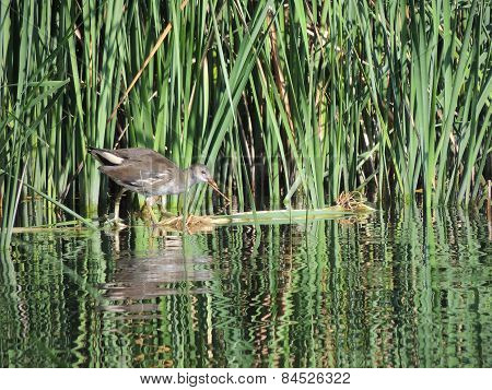 The Common Moorhen 3-4 Months Old The Reeds