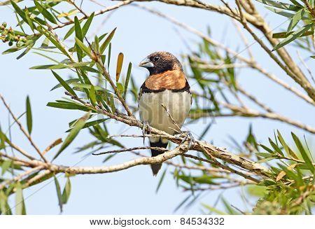 Chestnut-breasted Mannikin, Australia