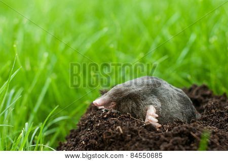 Profil of a mole digging the soil poster