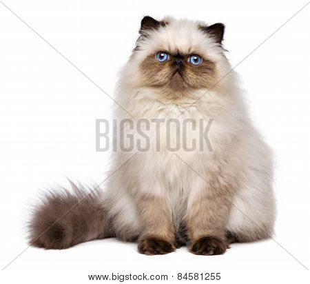 Cute Persian Seal Colourpoint Kitten Is Sitting Frontal