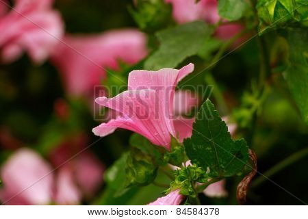 Close up view of the beautiful Annual Mallow (Lavatera trimestris) flower.