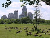 A large flock of geese in Humber Bay Park on bank of lake Ontario in Toronto Canada poster