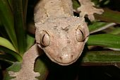 Crowns Gecko (Rhacodactylus ciliatus) on a plant - Portrait poster