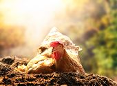 relaxing of chicken hen lying in dirt soil against beautiful sun light background use good management in livestock farm and agriculture in rural scene poster