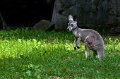 Single Australian grey kangaroo standing still on green grass poster