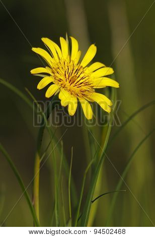 Meadow Salsify Flower