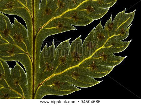 Broad Buckler Fern (Dryopteris Dilatata) Frond Detail