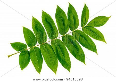 Juglans Mandshurica Leaves Isolated On White Background