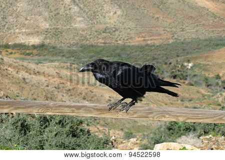 A black Cananry island raven