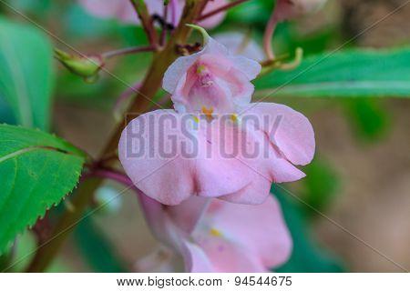 Impatiens Glandulifera Plant