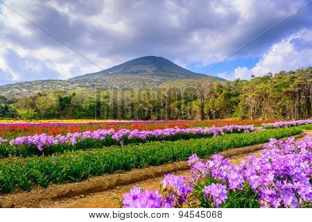 Hachijojima Island, Japan during the Freesia flower bloom season.