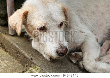The homeless white dog on side street poster