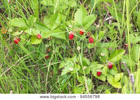 The Strawberry in the Forest