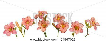 Set Salmon-colored Daylily, Hemerocallis