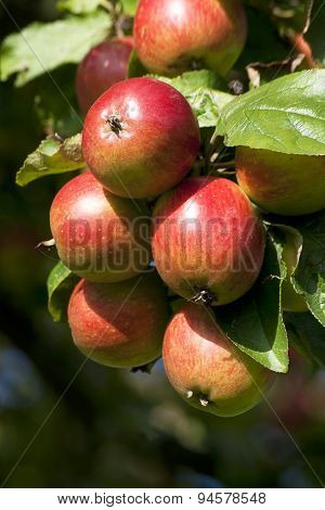 Apple Tree with mellow fruits
