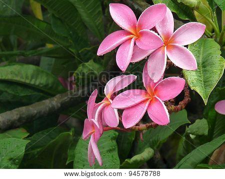Pink Plumeria Flowers in the Rain