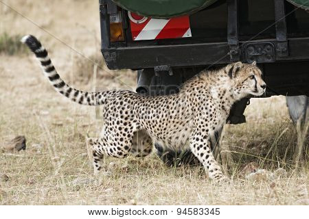 Close Encounter With Wild Cheetah