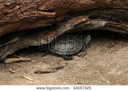 European pond turtle (Emys orbicularis), also known as the European pond terrapin. Wildlife animal.