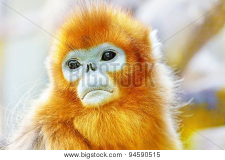 Cute Golden Snub-nosed Monkey In His  Natural Habitat Of Wildlife.