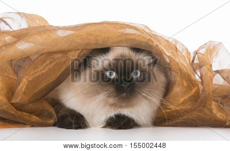 ragdoll cat hiding under a blanket