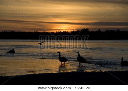 Geese In Sunset 2