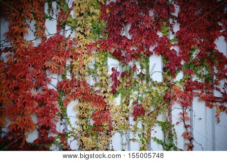The tendrils and branches of the vine plant with red and green leaves in autumn on a wall.