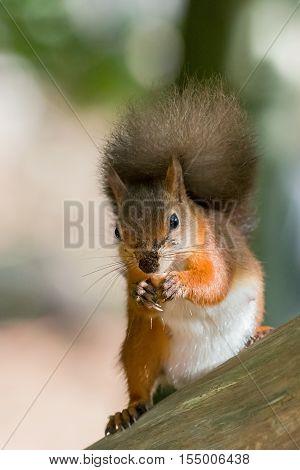 British native Red Squirrel with nut on Brownsea Island Dorset