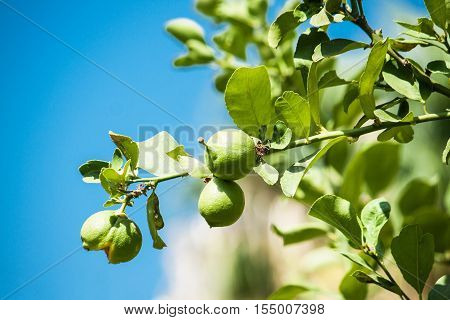 Green Fresh ripe lime on tree. Nature background