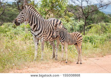 Mother Zebra With A Baby Zebra.