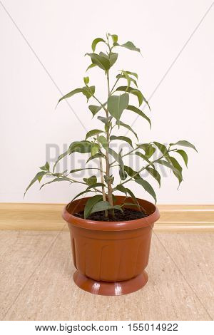 One Ficus Benjamin in a brown flowerpot green plant