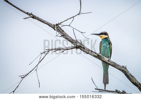 European Bee-eater Standing On A Branch.